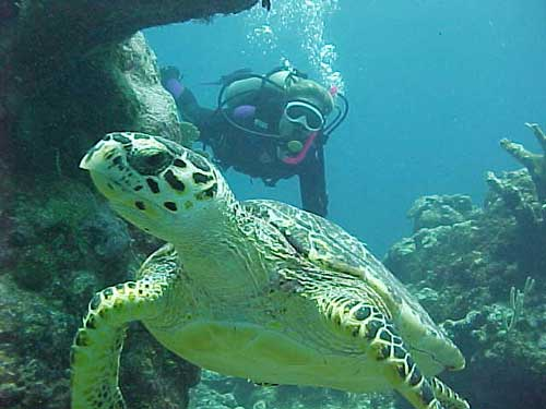 Scuba Diving with turtles in Playa Del Carmen Riviera Maya the site is Tortuga Buseo